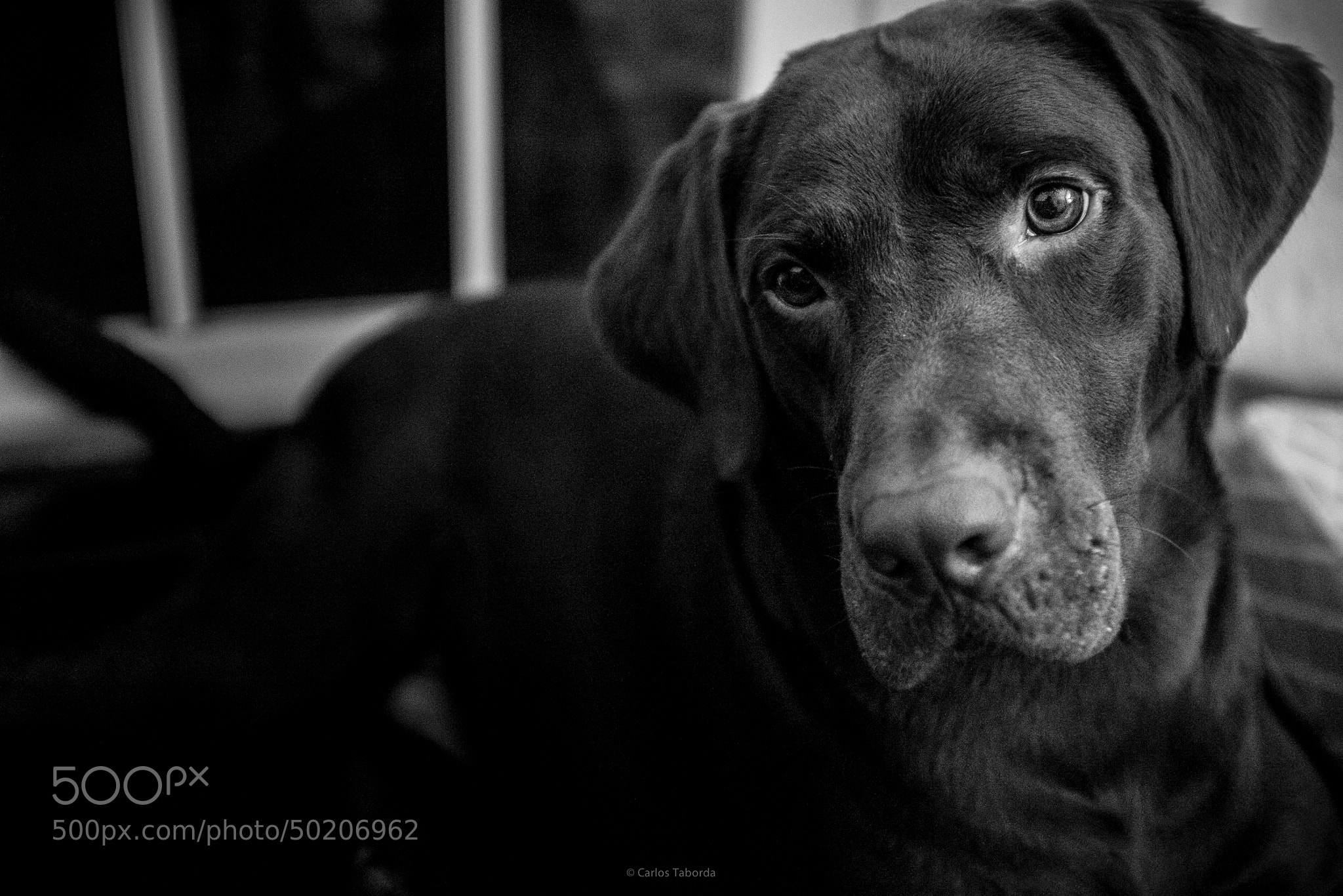 Photograph Milo the Obsessed Labrador by Carlos Taborda on 500px