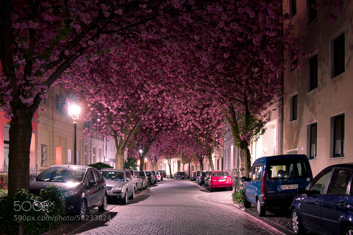 Photograph Cherry Blossom Bonn by I AM ROB  on 500px