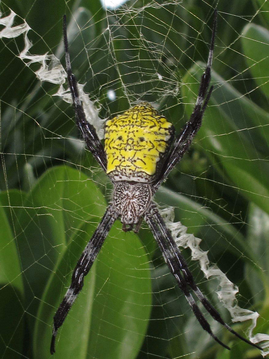 Photograph Big Yellow Spider by Alan Cressler on 500px