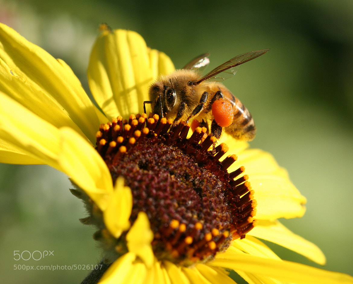 Photograph Busy Bee by Don Lowden on 500px