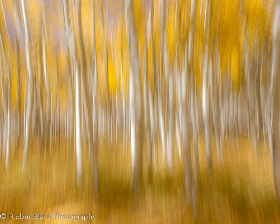 Aspen Abstract, Lundy Canyon (Eastern Sierra) by Robin Black on 500px.com