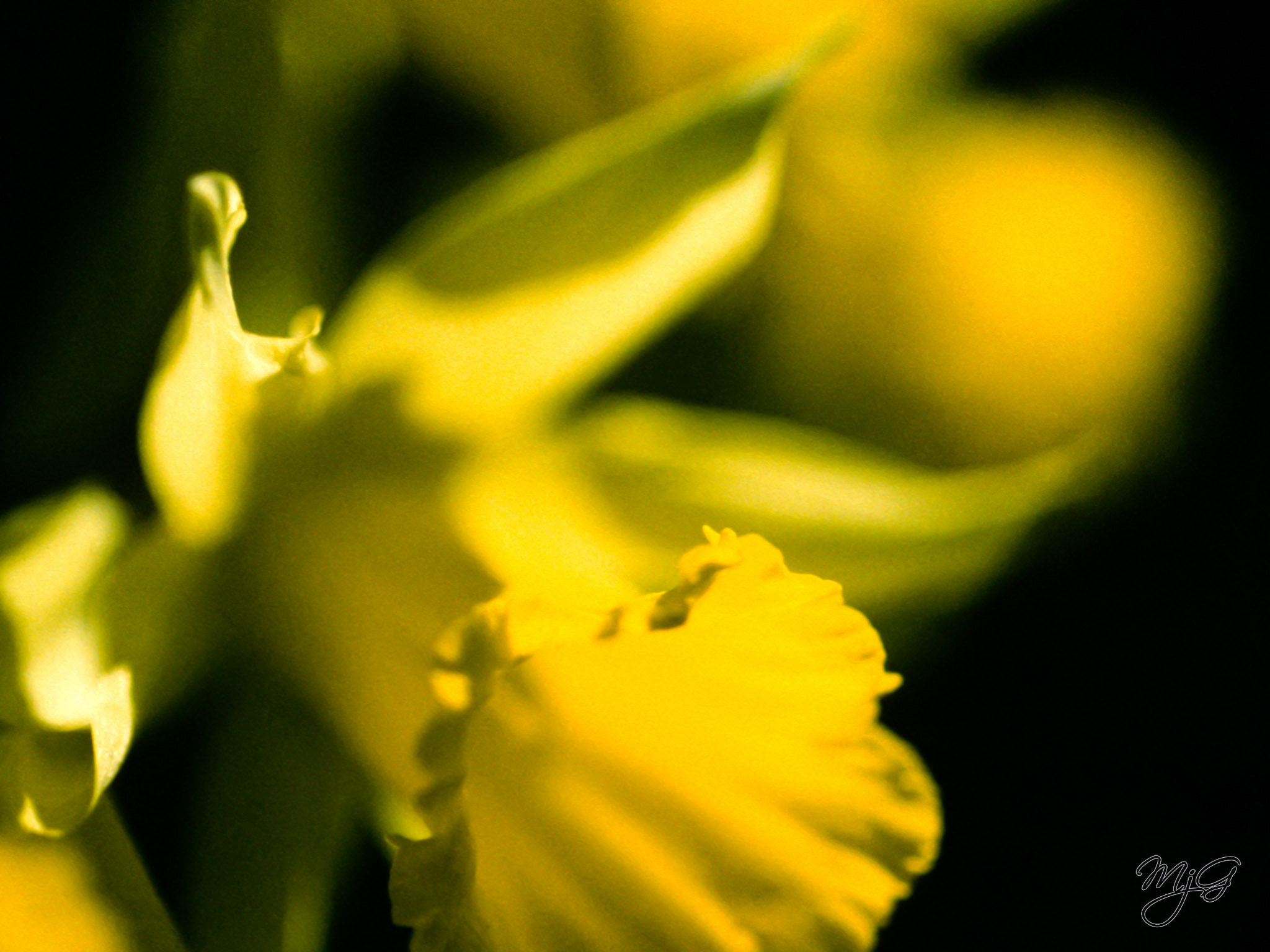 Photograph Daffodil by Mike Gabelmann on 500px