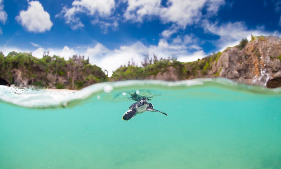 Baby Sea Turtle Okinawa by Tanya Salone on 500px.com