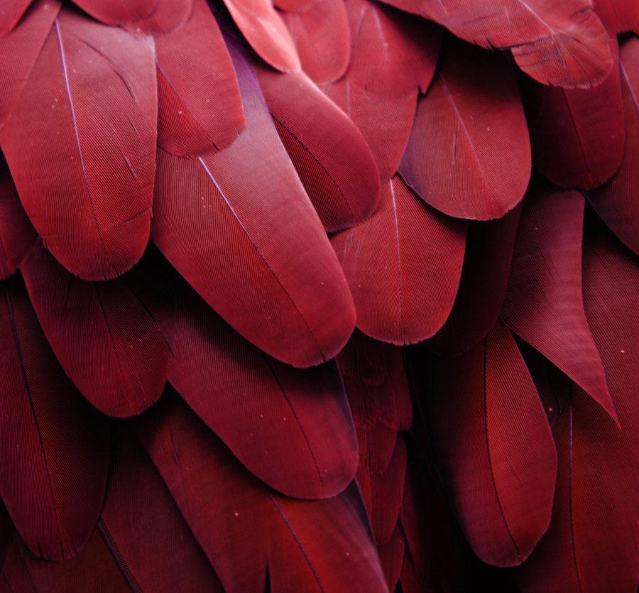 Red Feathers by Michael Fitzsimmons on 500px
