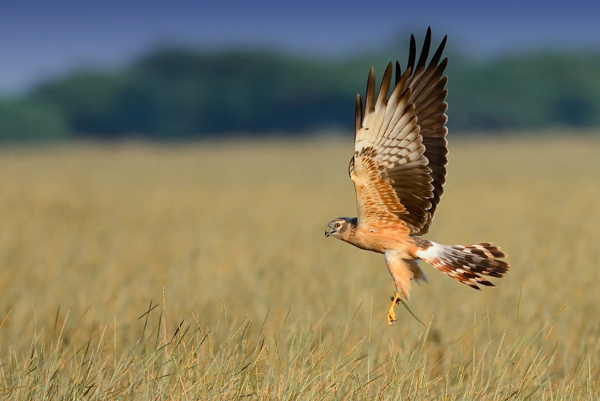 Photograph Harrier in golden light by Sunil Kini on 500px