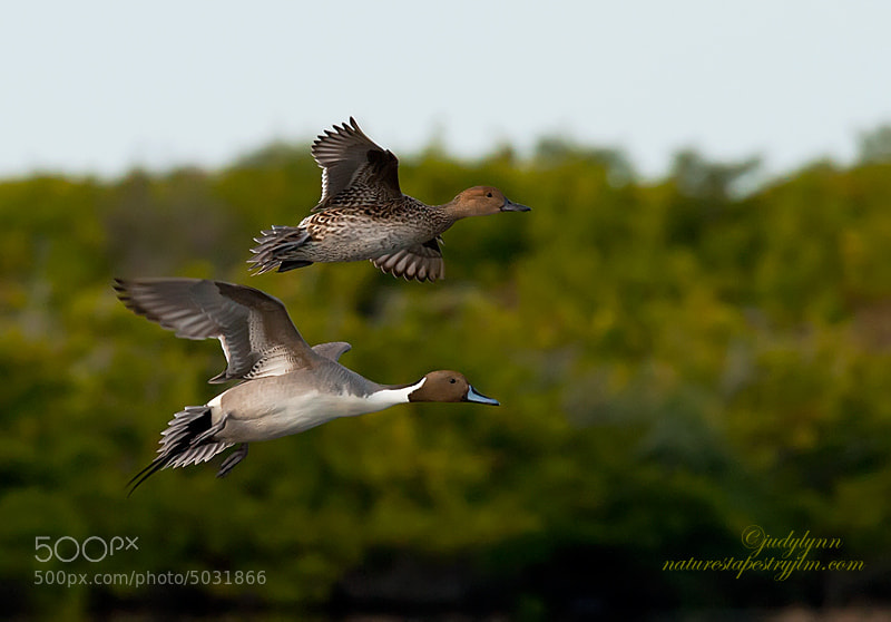 Captured this image just after tthe female and male pintail took off for other feeeding areas.