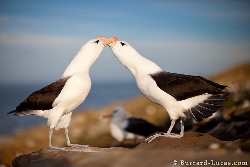 A photo for Valentine's Day… a pair of endangered black-browed albatross courting in the Falkland Islands. These birds often mate for life and can have a lifespan of more than 70 years.
