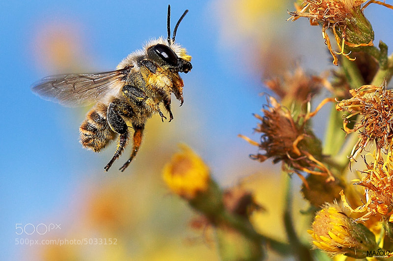 Photograph Wild bee by mazouz abdelaziz on 500px