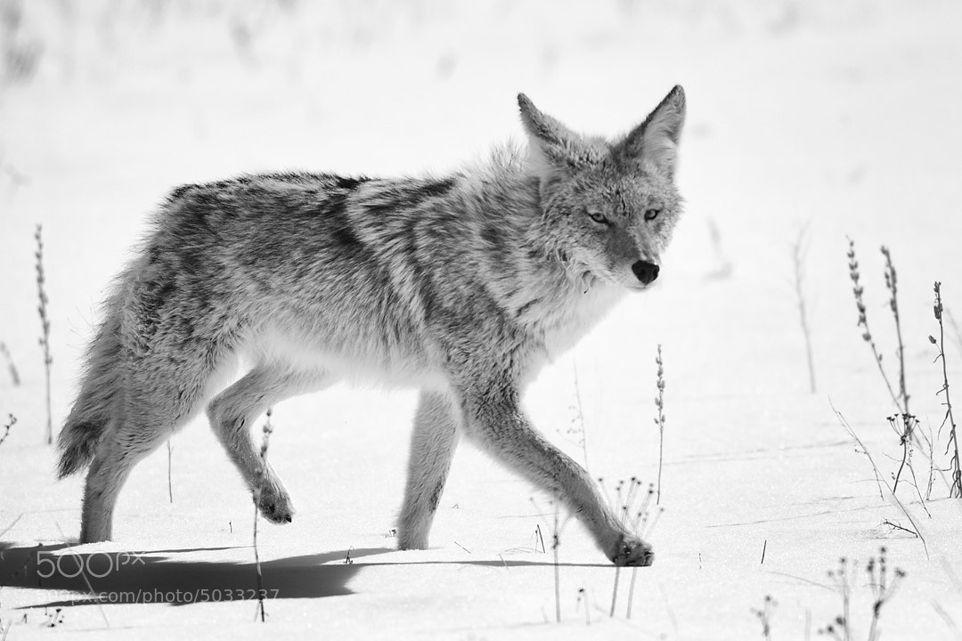 Photograph Coyote in Snow by Richard Hahn on 500px