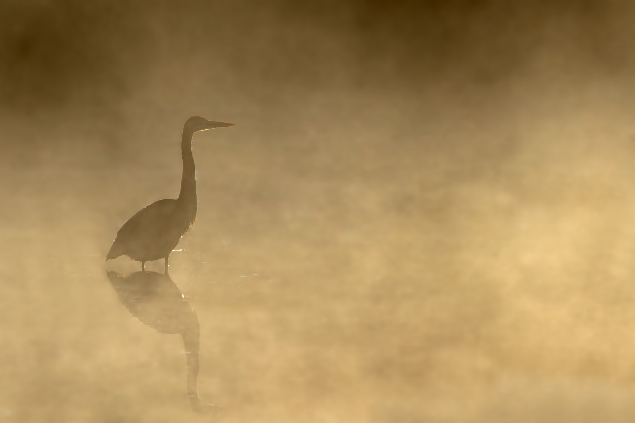 Photograph Yellow Mist - Great Blue Heron by Jim Cumming on 500px