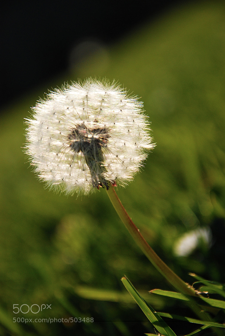 Photograph dandelion by Andrei Schendra on 500px