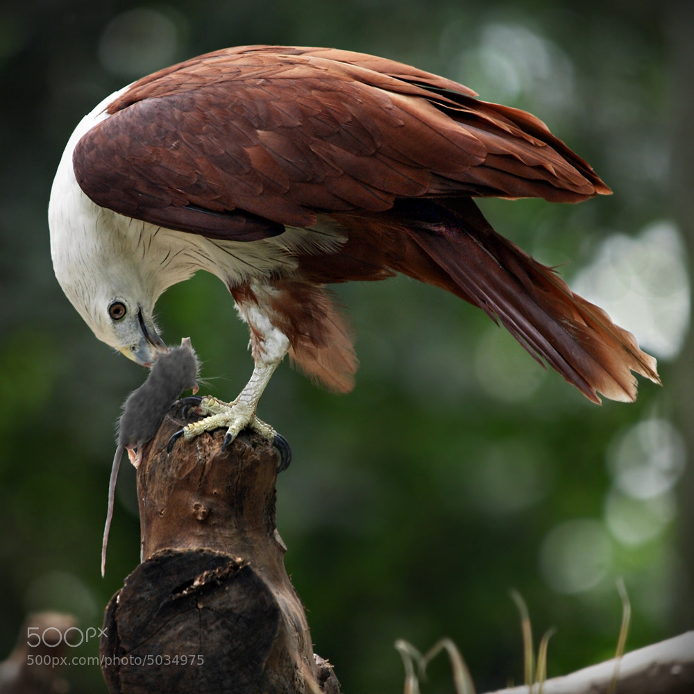 Photograph Brahminy Kite by Irawan Subingar on 500px