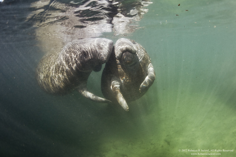 Photograph Manatee Smooch by Rebecca Jackrel on 500px