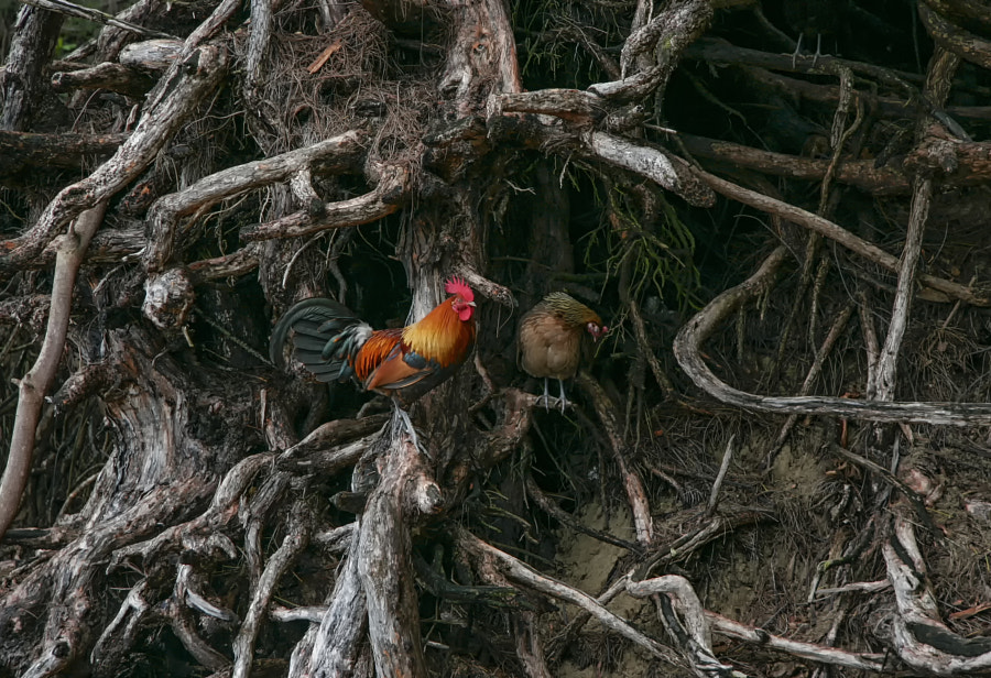 The Rooster and the Hen by Alan du Heaume on 500px.com