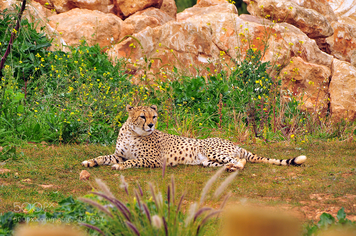Photograph Leopard rest by Imad Ammor on 500px