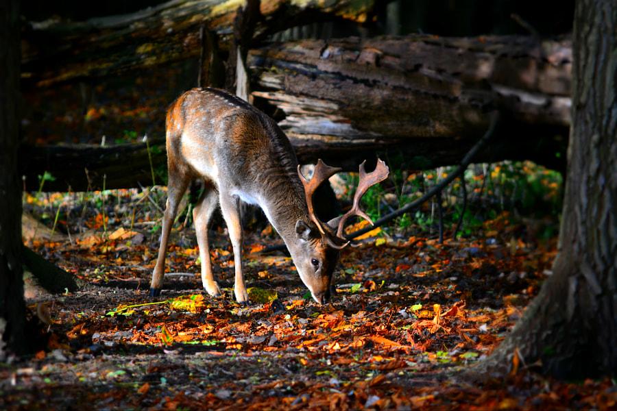 foraging buck