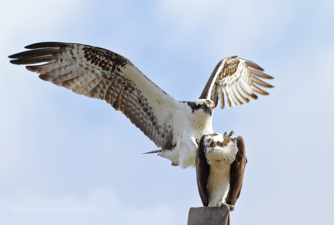 Photograph Osprey Mating Session 2/3 by Salah Baazizi on 500px