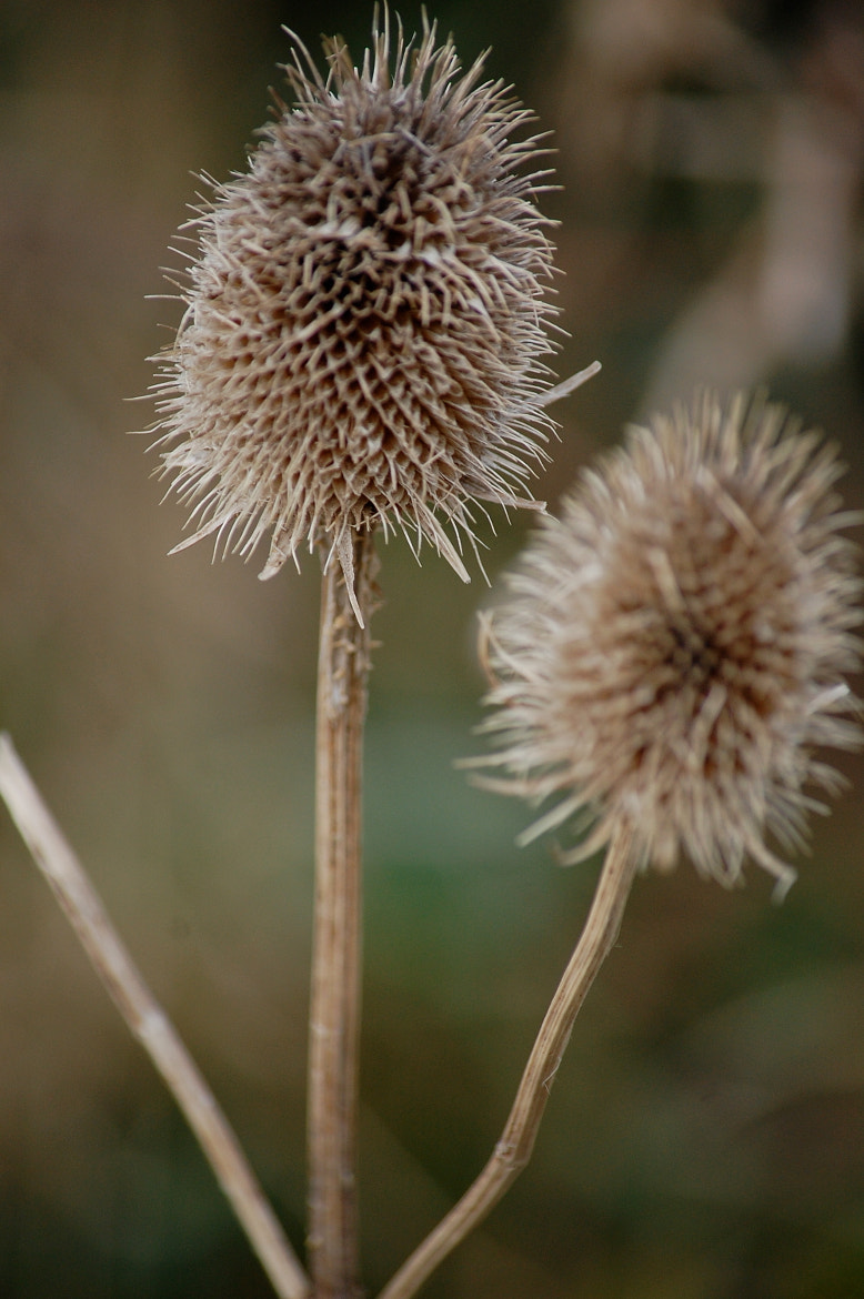 Photograph WInter Thistles by dickon . on 500px