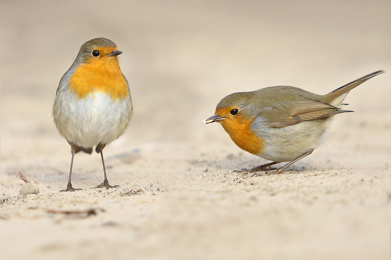 Photograph two  robin ... by Mathias Ahrens on 500px