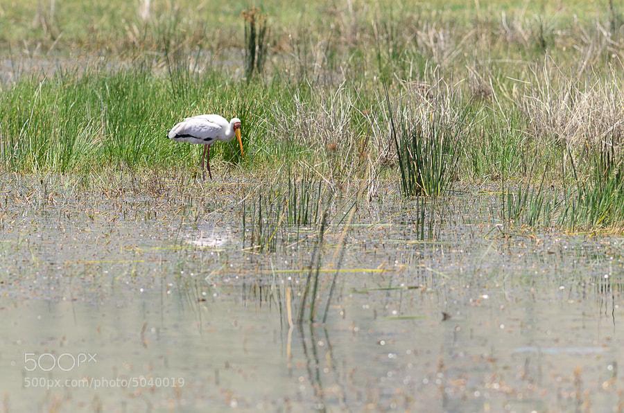 Photograph Yellow Billed Stork by Arend van der Walt on 500px