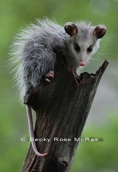 Photograph Young Possum by Becky Ross McRae on 500px