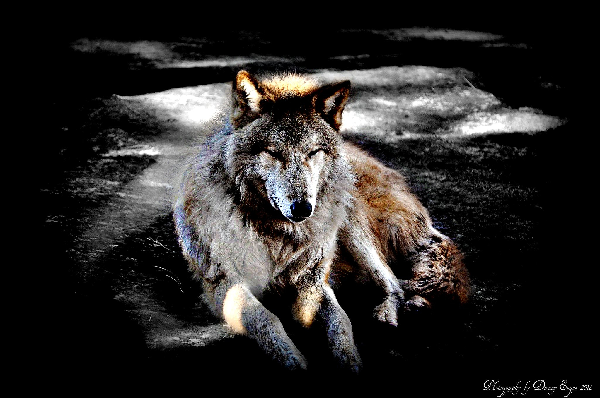 Photograph Wolf by Danny Enger on 500px