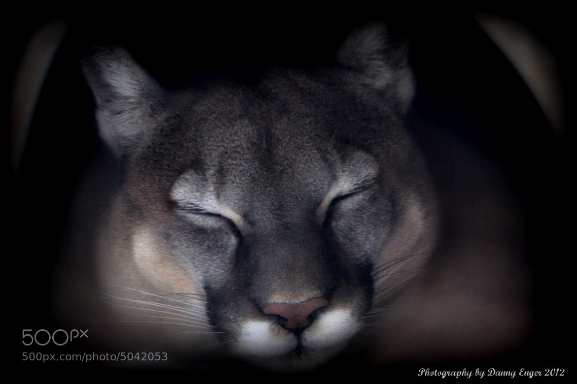 Photograph Mountain Lion by Danny Enger on 500px