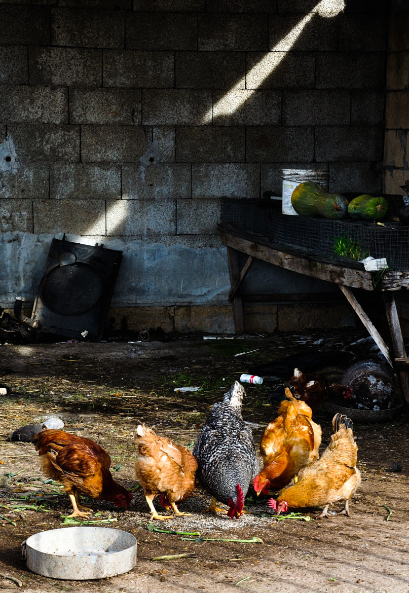 Photograph hens and rural life by una.mela  on 500px