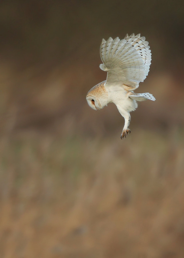 Photograph Hovering Barn Owl by Karen Summers on 500px