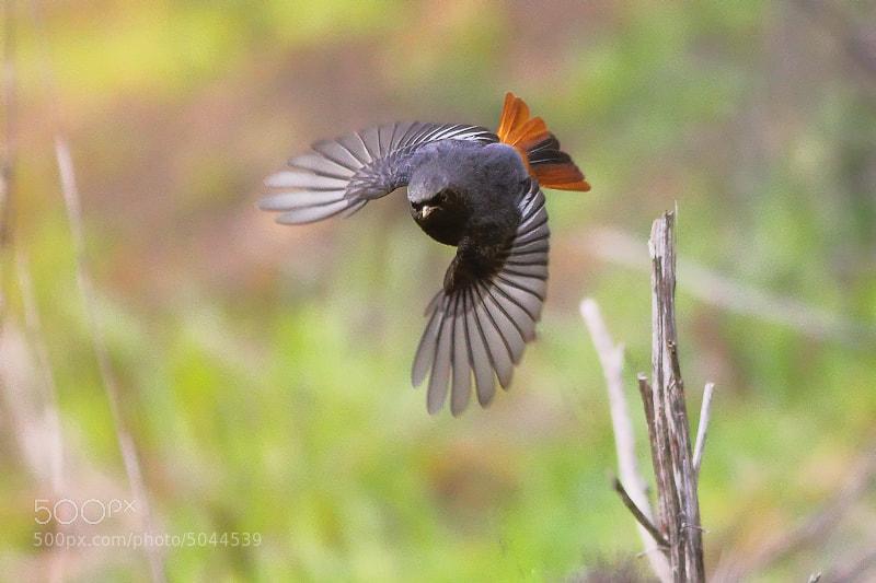 Photograph Black Redstart by mazouz abdelaziz on 500px
