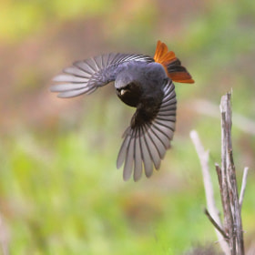 Black Redstart by mazouz abdelaziz (fotografeur1960)) on 500px.com