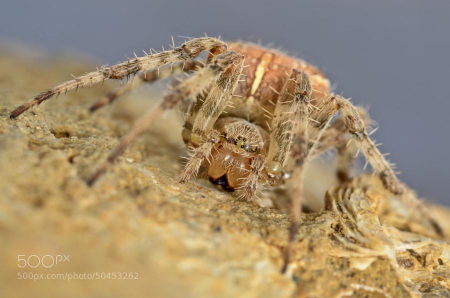 Photograph </p> <p>Araneus diadematus by Matteo Senesi on 500px