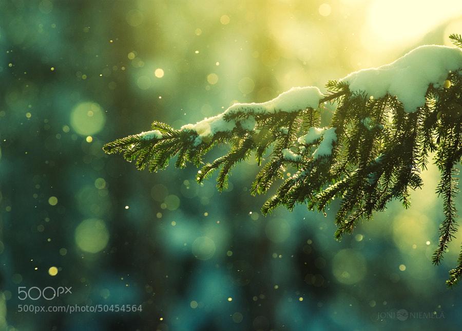 Pine Needles In The Snowfall by Joni Niemelä on 500px.com