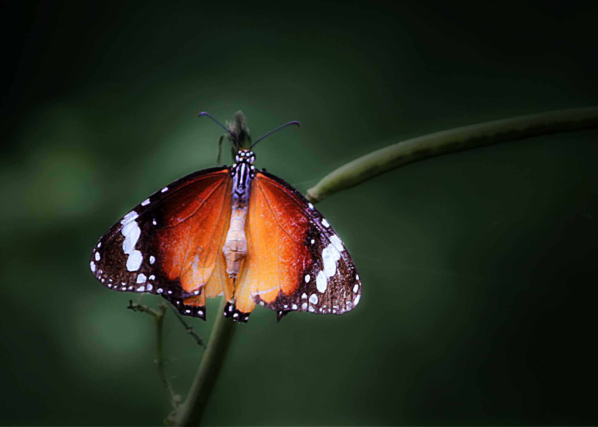 Photograph Plain Tiger Butterfly by Subhash Masih on 500px