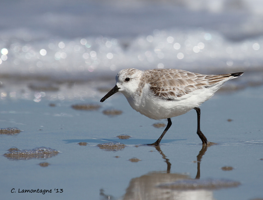 Sanderling at Melbourne Beach Florida last winter.