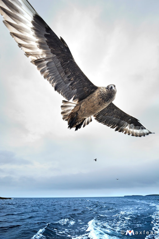 Photograph In the wings of skua by Massimiliano Sticca on 500px