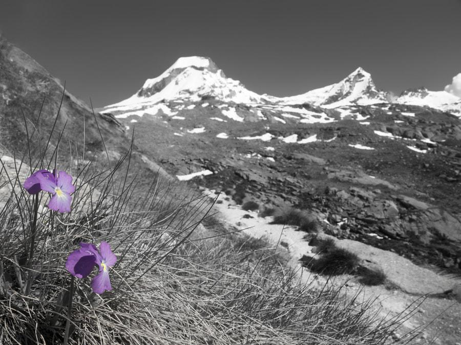 Flowers of Gran Paradiso