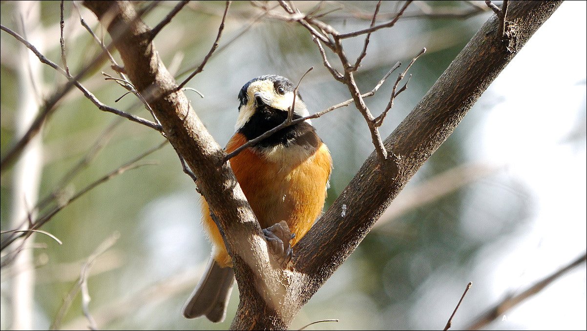 Photograph Varied Tit by SangJin Jung on 500px