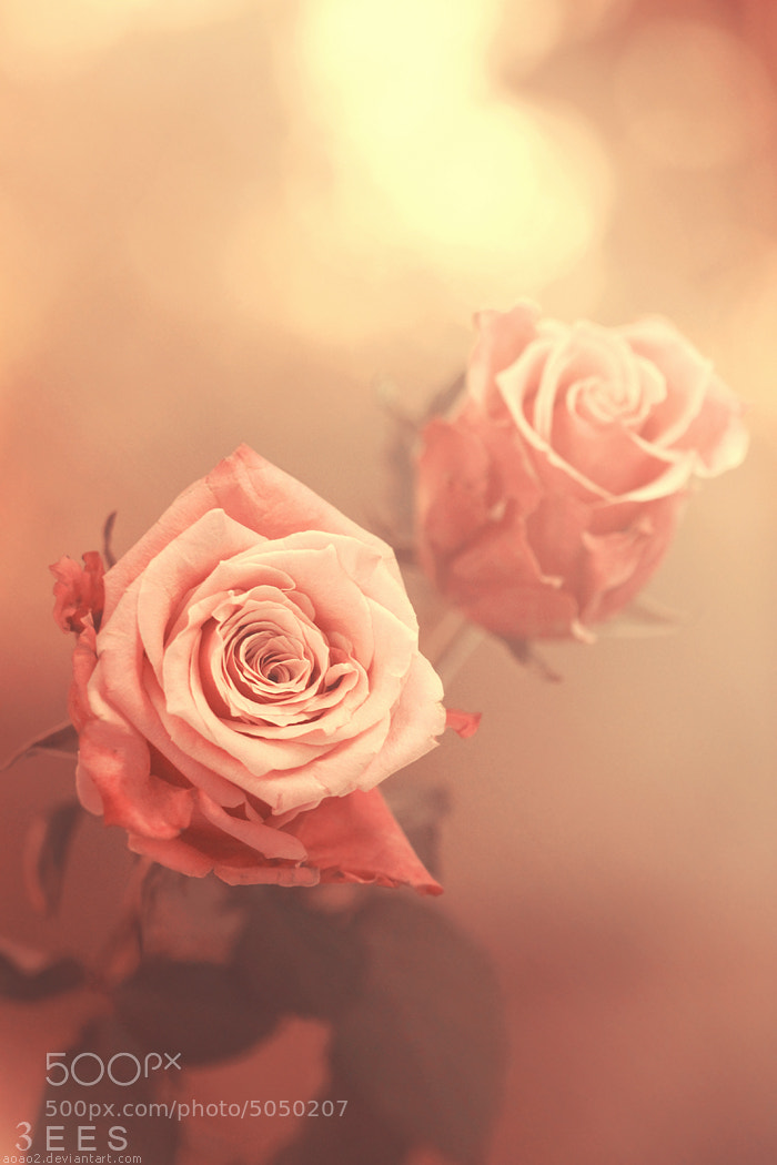 Photograph Roses ... by Essa Al Mazrooei on 500px