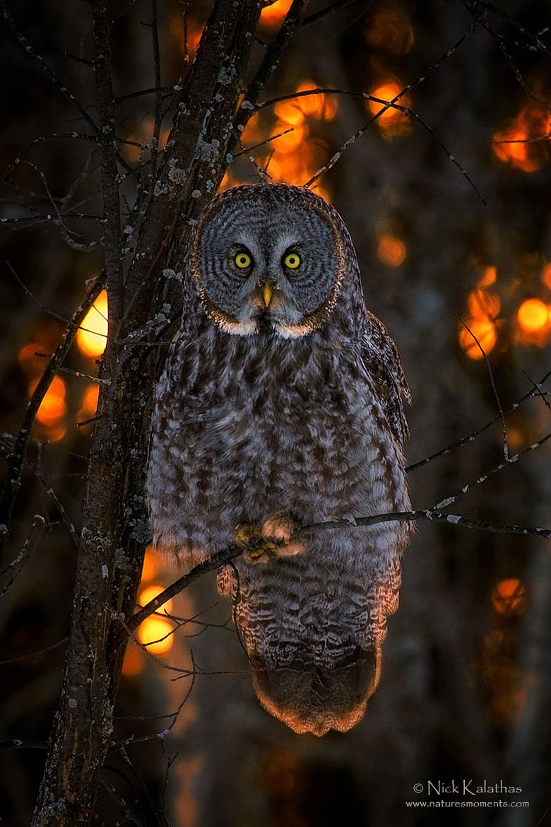 Photograph Great Gray Owl in Sunset Light by Nick Kalathas - Nature's Moments on 500px