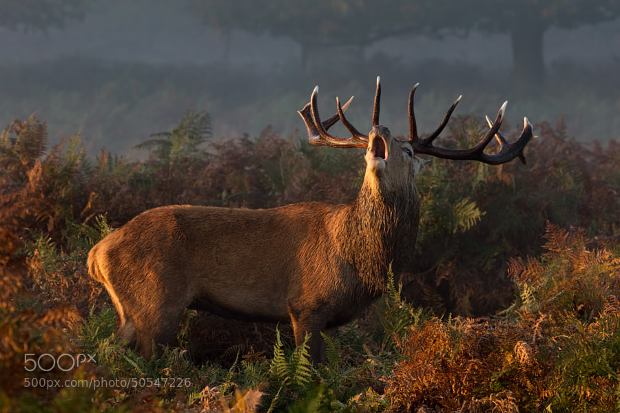 Red Deer Stag by Mark Monckton photography on 500px.com