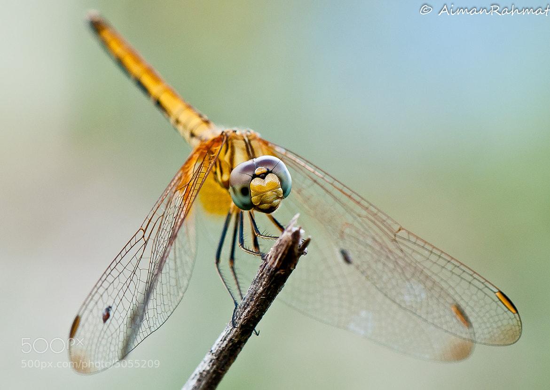 Photograph Dragon Fly by Rahmat  Daud on 500px