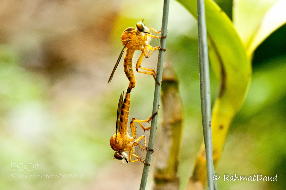Photograph Robber Flies by Rahmat  Daud on 500px