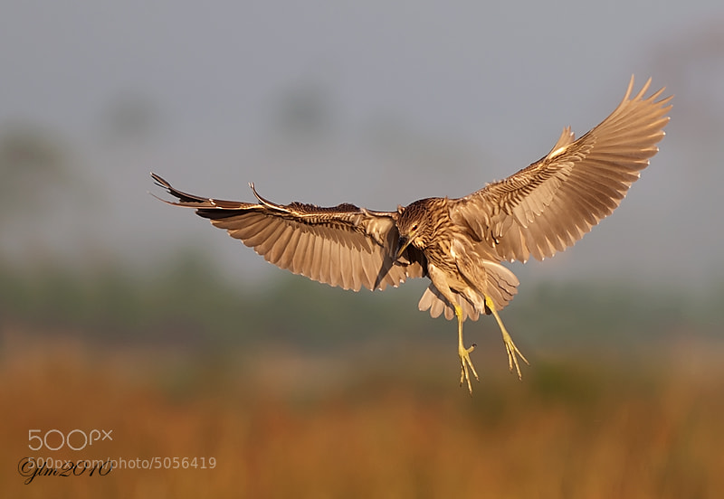 This is an image of a juvenile Black crown night heron taken vey early in the morning as he was coming in for a landing.  It is always a thrill to see them in flight as the are such elusive birds.