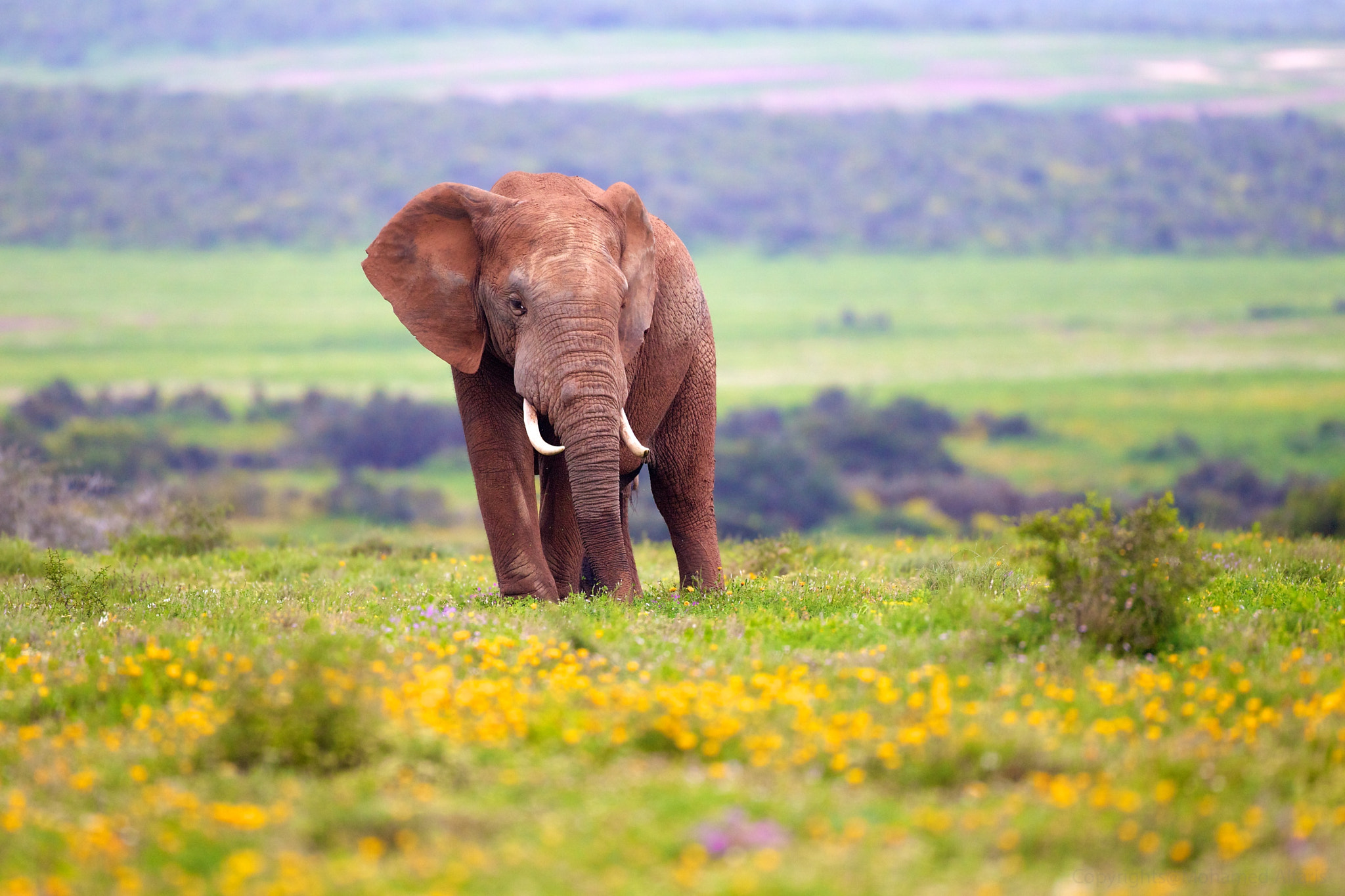 Photograph Elephant & the Yellow Flowers by Mohamed  Al Faris on 500px