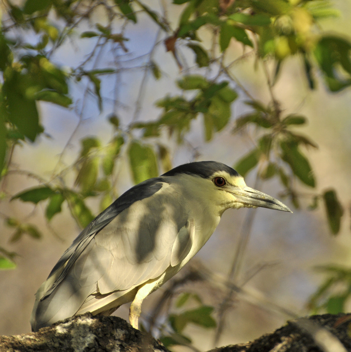 Photograph |Black Crowned Night Heron. by Graham Turner on 500px