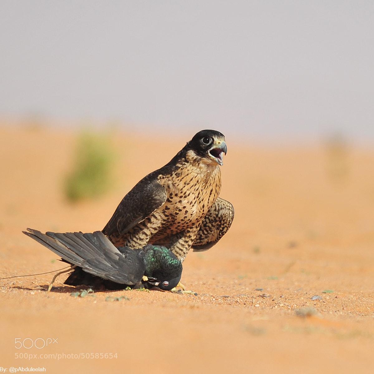 Photograph falcon by Abduleelah Al-manea on 500px