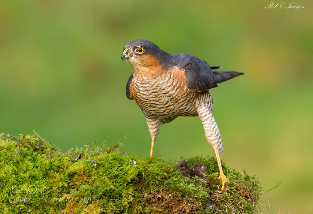 Photograph Sparrowhawk by Rob Cross on 500px