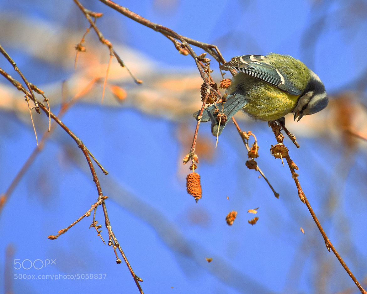 Photograph Blue tit in February midday by The  Walker on 500px