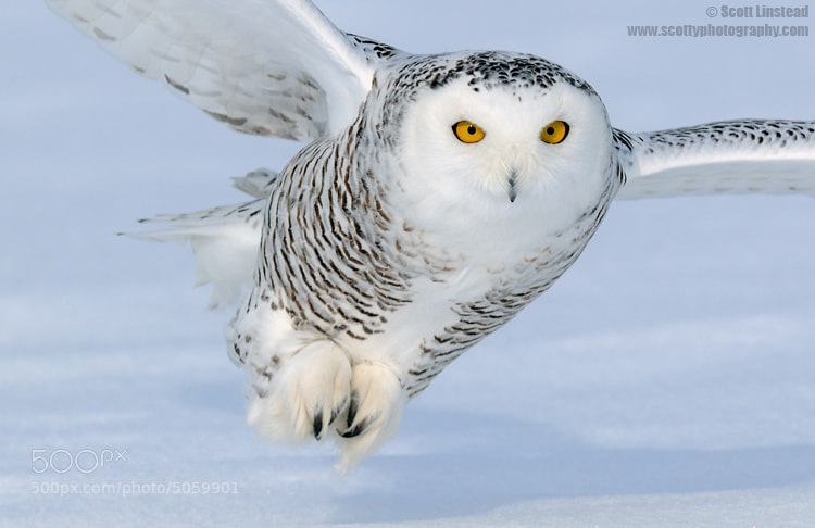Photograph Snowy Owl by Scott Linstead on 500px